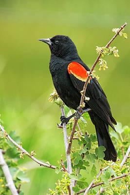 Animals Photos - Male Red-winged Blackbird by Belinda Greb
