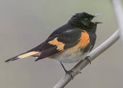 Photograph - Male Redstart by Wade Aiken