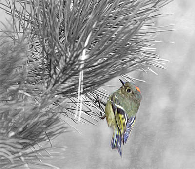 Ruby-crowned Kinglet Birds Photograph - Male Ruby-crowned Kinglet by Donna Kennedy