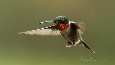 Dan Beauvais Royalty-Free and Rights-Managed Images - Male Ruby-Throated Hummingbird 6794 by Dan Beauvais