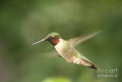 Male Ruby Throated Hummingbird Art Print by Cathy  Beharriell