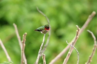 Photograph - Male Ruby Throated Hummingbird by Debbie Oppermann
