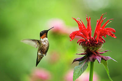 Male Ruby-throated Hummingbird Hovering Near Flowers Art Print