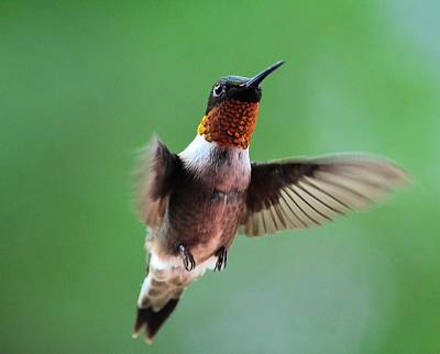 Photograph - Male Ruby-throated Hummingbird by Kathy Eickenberg