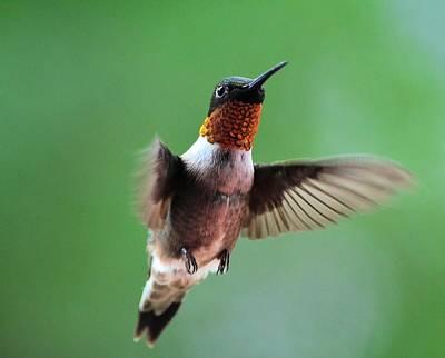 Male Ruby-throated Hummingbird Art Print