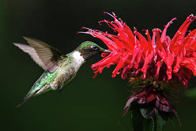 Photograph - Male Ruby Throated Hummingbird With Red Flower by Christina Rollo