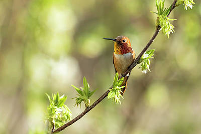 Photograph - Male Rufous Hummingbird On A Branch by Belinda Greb