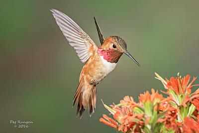 Photograph - Male Rufus Hummingbird by Peg Runyan