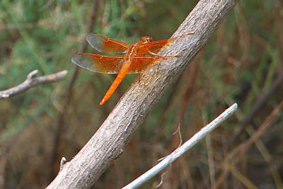 Photograph - Male Skimmer Dragonfly by Sharon I Williams