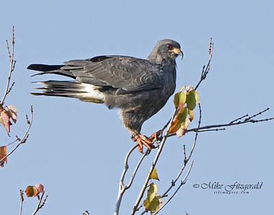 Photograph - Male Snail Kite Poses by Mike Fitzgerald