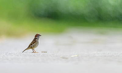 Photograph - Male Sparrow On The Ground by Elenarts - Elena Duvernay photo