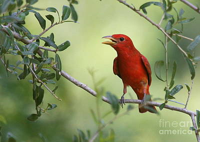 Photograph - Male Summer Tanager by Myrna Bradshaw