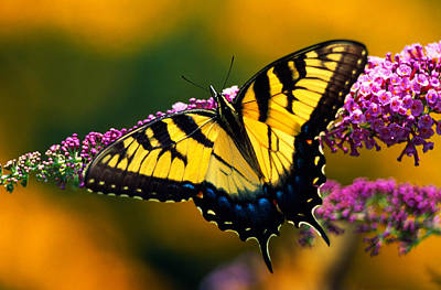 Tiger Swallowtail Photograph - Male Tiger Swallowtail Butterfly On by Panoramic Images