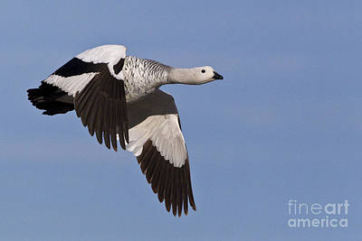 Southern Uplands Wall Art - Photograph - Male Upland Goose by Jean-Louis Klein & Marie-Luce Hubert