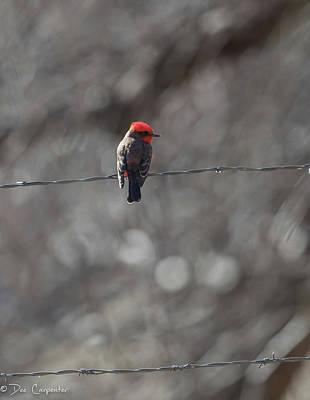 Photograph - Male Vermillion Flycatcher by Dee Carpenter