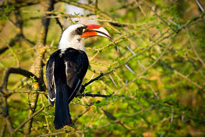 Beak Photograph - Male Von Der Decken's Hornbill by Adam Romanowicz