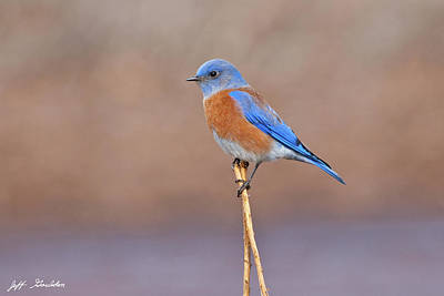 Photograph - Male Western Bluebird Perched On A Stalk by Jeff Goulden