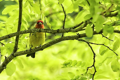 Photograph - Male Western Tanager, No. 1 by Belinda Greb