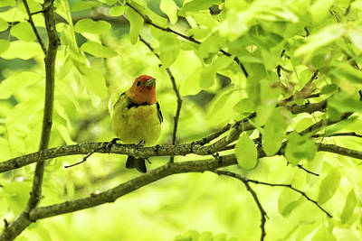 Photograph - Male Western Tanager, No. 2 by Belinda Greb