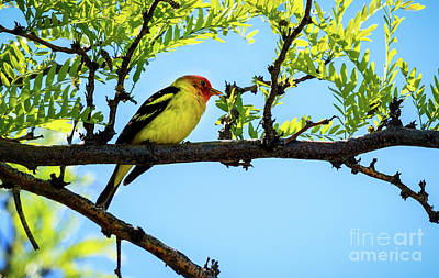 Cute Tree Images Photograph - Male Western Tanager by Robert Bales