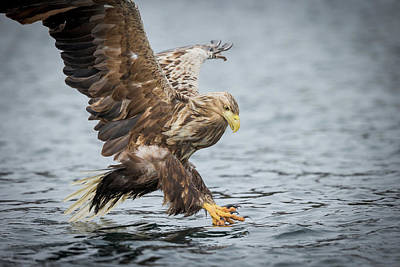 Photograph - Male White-tailed Eagle by Andy Astbury