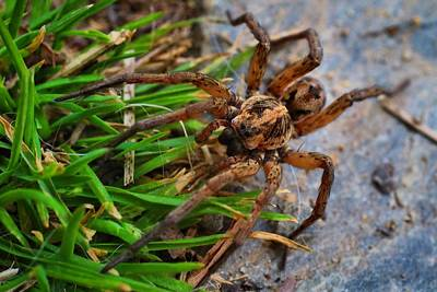 Photograph - Male Wolf Spider by Kathryn Meyer