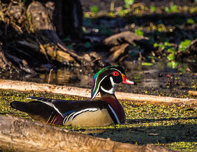 Photograph - Male Wood Duck by Gregory Daley  PPSA