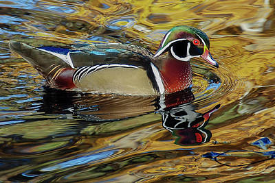 Wood Duck Profile Photograph - Male Wood Duck Reflections by Morris Finkelstein