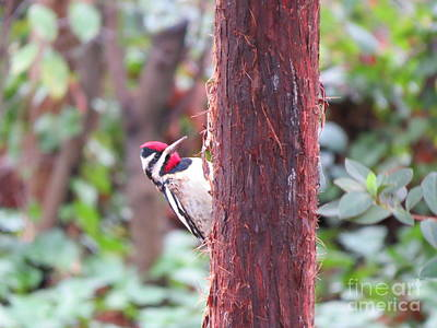 Achieving - Male Yellow-bellied Sapsucker by Charles Green