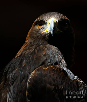 Photograph - Maleficent Golden Eagle by Sue Harper