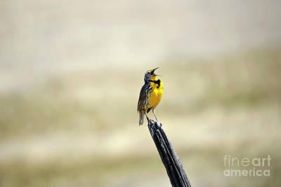 Photograph - Malheur Meadowlark by Denise Bruchman
