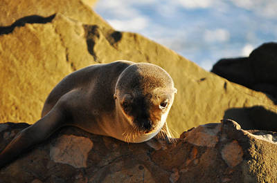 Malibu California Baby Sea Lion Original by Kyle Hanson