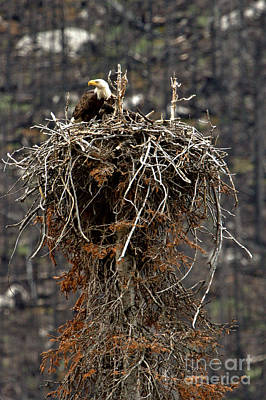 Photograph - Maligne Valley Bald Eagle Nest by Adam Jewell
