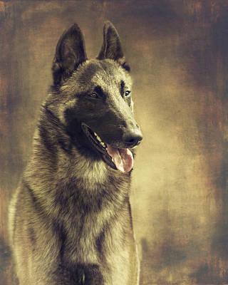 Belgian Malinois Photograph - Malinois Portrait by Wolf Shadow  Photography