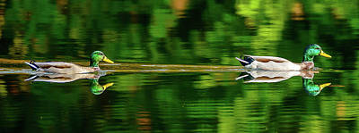 Photograph - Mallard Reflections by Jerry Cahill