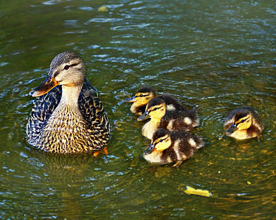 Photograph - Mallard And Ducklings by Susan Leggett