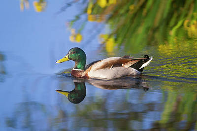 Photograph - Mallard And Flowers by Mark Miller