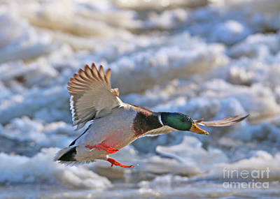 Photograph - Mallard And Ice  5807 by Jack Schultz