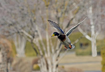 Drake Photograph - Mallard Approach by Mike  Dawson