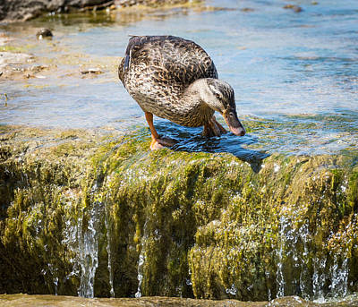 Photograph - Mallard At Falls by John Johnson