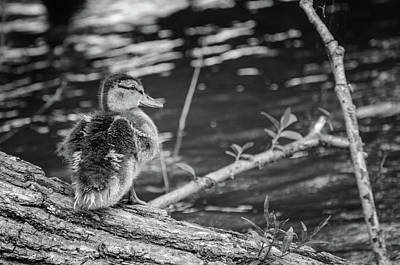 Photograph - Mallard Duckling - Black And White by Susan McMenamin