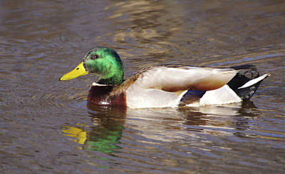 Photograph - Mallard by Buddy Scott