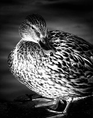 Photograph - Mallard By The Lake by Fine Art By Andrew David
