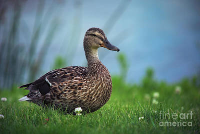 Mallards Photograph - Mallard By The Lake by Ian McGregor