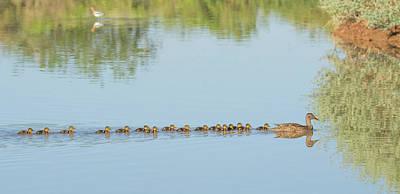 Photograph - Mallard Chicks And Adult 7293-042518-1cr by Tam Ryan