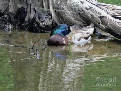 Photograph - Male Mallard by Cindy Murphy - NightVisions