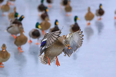 Photograph - Mallard Coming In For A Landing by Lynn Hopwood