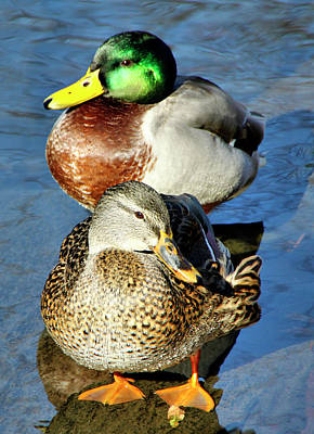 Mallard Couple Art Print