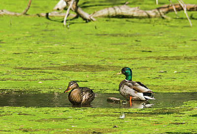 Photograph - Mallard Couple by Edward Peterson