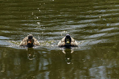 Photograph - Mallard Couple by Inge Riis McDonald